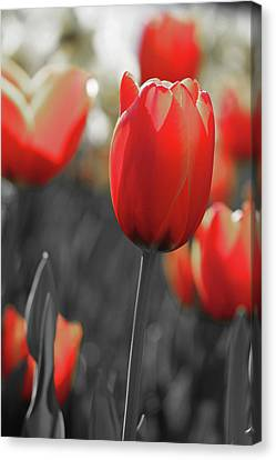Tulips - In The Mix Canvas Print by Pamela Critchlow