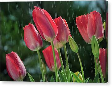Canvas Print featuring the photograph Tulips In The Rain by William Lee