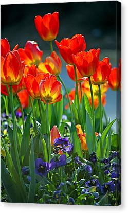 Tulips Canvas Print by Robert Meanor