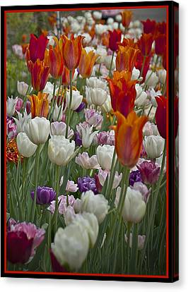 Tulips... Tulips... Everywhere Canvas Print