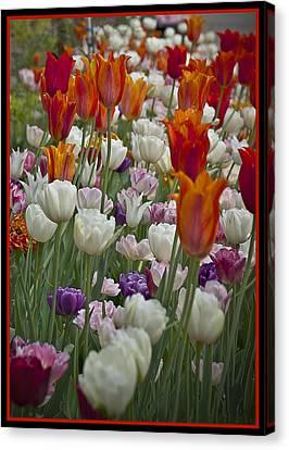 Tulips... Tulips... Everywhere Canvas Print by Deborah Klubertanz