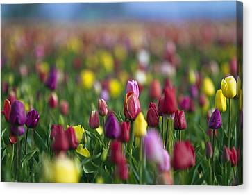 Tulips Canvas Print by William Lee