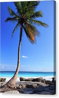 Tulum Mexico Single Tree On Beach Canvas Print by Maria Swärd