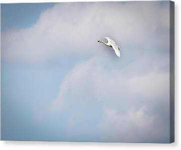 Flying Swan Canvas Print - Tundra Swan 2015-8 by Thomas Young