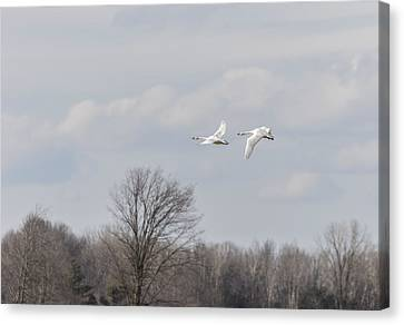 Flying Swan Canvas Print - Tundra Swans 1-2015 by Thomas Young