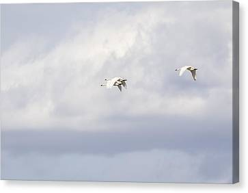 Flying Swan Canvas Print - Tundra Swans 2-2015 by Thomas Young