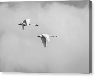 Flying Swan Canvas Print - Tundra Swans 3-2015 by Thomas Young