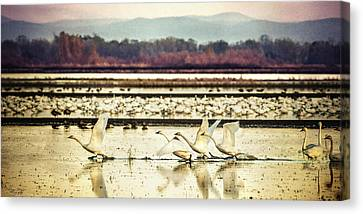 Tundra Swans Lift Off Canvas Print