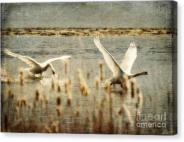 Flying Swan Canvas Print - Turf Wars by Lois Bryan