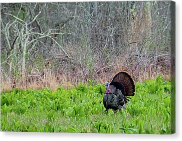 Canvas Print featuring the photograph Turkey And Cabbage by Bill Wakeley
