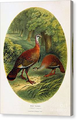 Meleagris Canvas Print - Turkey From The Sportsman And Naturalist Restored by Pablo Avanzini