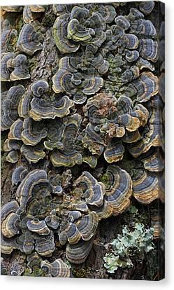 Turkey Trail Mushrooms Canvas Print by Juergen Roth