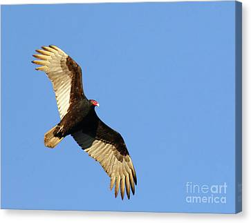 Canvas Print featuring the photograph Turkey Vulture by Debbie Stahre