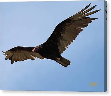 Turkey Vulture Soaring Canvas Print