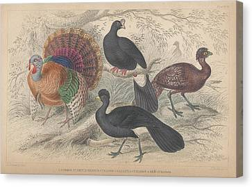 Turkeys Canvas Print by Dreyer Wildlife Print Collections