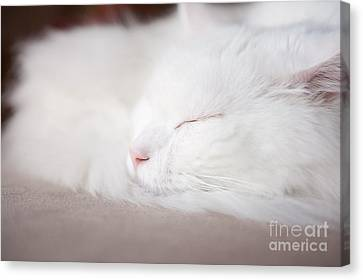 Turkish Angora Cat Face Closeup Canvas Print by Arletta Cwalina