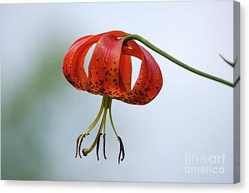 Turk's Cap Lily Canvas Print