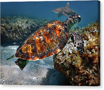 Turtle And Shark Swimming At Ocean Reef Park On Singer Island Florida Canvas Print by Justin Kelefas