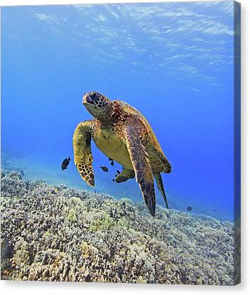 Turtle Canvas Print by Chris Stankis