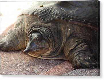 Canvas Print featuring the photograph Turtle by Michael Albright