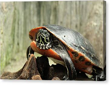 Turtle Neck Canvas Print by David Stasiak