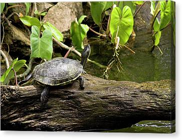 Turtle On Rock Canvas Print