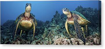 Turtle Panorama Canvas Print by Dave Fleetham - Printscapes