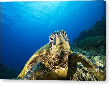 Turtle Stare Canvas Print by Dave Fleetham - Printscapes