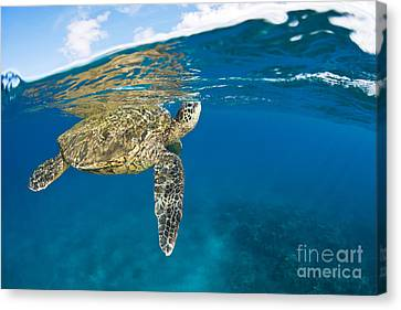 Turtle Taking A Breath Canvas Print by Dave Fleetham - Printscapes