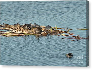 Turtles Catching Sun On Bamboos Canvas Print by Angelo DeVal
