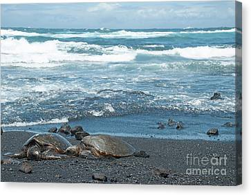 Turtles On Black Sand Beach Canvas Print