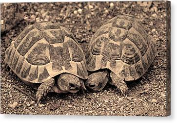 Canvas Print featuring the photograph Turtles Pair by Gina Dsgn