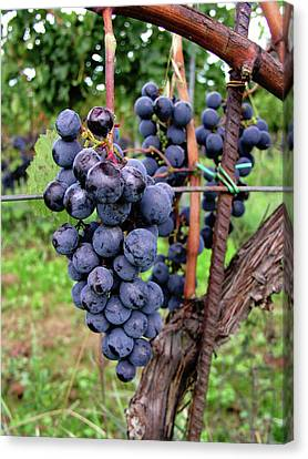 Tuscan Grapes Canvas Print