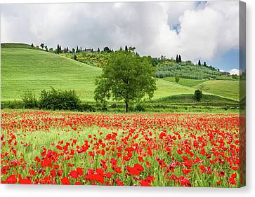 Tuscan Poppies Canvas Print by Michael Blanchette
