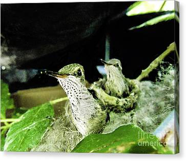 Bird Canvas Print - Twenty Day Old Rufous Hummingbirds by The Follmers