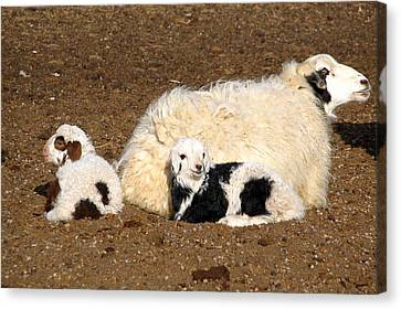 Twin Lambs Of The Gobi Canvas Print by Diane Height