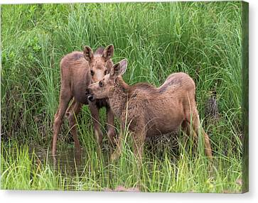 Twin Moose Playing In The Water Canvas Print