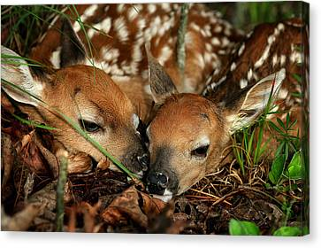 Twin Newborn Fawns Canvas Print