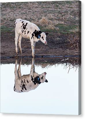 Twin Spotted Calves Canvas Print