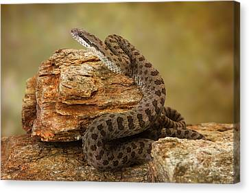 Twin-spotted Rattlesnake On Desert Rocks Canvas Print by Susan Schmitz