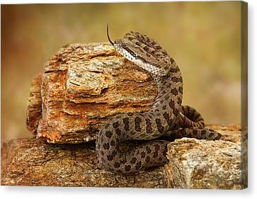 Twin-spotted Rattlesnake With Tongue Out Canvas Print by Susan Schmitz