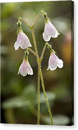 Twinflower (linnaea Borealis) Canvas Print by Bob Gibbons