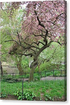 Twisted Cherry Tree In Central Park Canvas Print