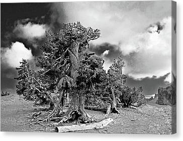 Twisted Old Bristlecone Pine Above Crater Lake - Oregon Canvas Print by Christine Till