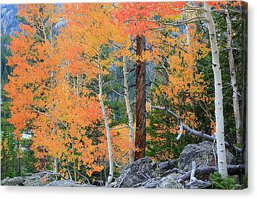 Canvas Print featuring the photograph Twisted Pine by David Chandler