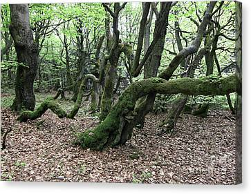 Canvas Print featuring the photograph Twisted Trunks Of Beech Trees - Old Beech Forest by Michal Boubin