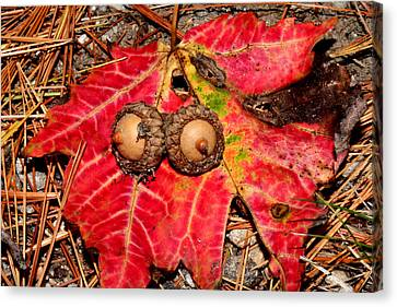 Two Acorns On Tatterd Maple Leaf Canvas Print by Robert Morin
