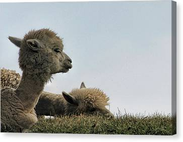 Two Alpaca Canvas Print by Pat Cook