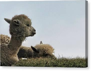 Two Alpaca Canvas Print