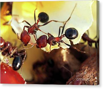 Two Ants In Sunny Day Canvas Print